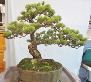 Bonsai Trees Hobby